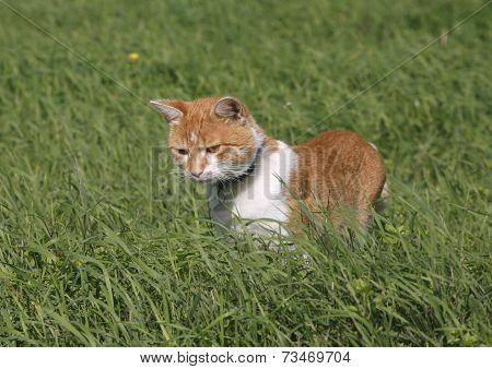 Lovely tabby kitten hunting on the lawn
