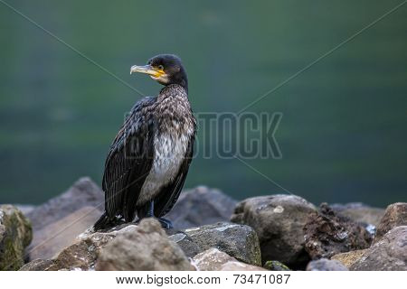 Great Cormorant In Seydisfjordur2