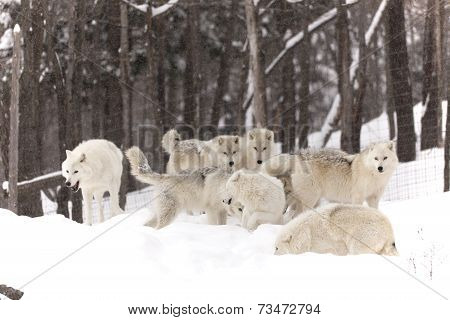 A pack of Arctic Wolves playing