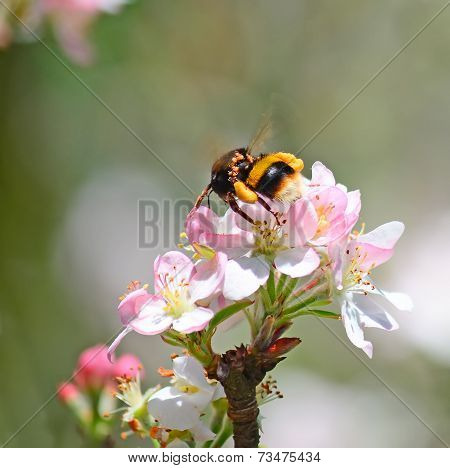 Apple Flower And Bee