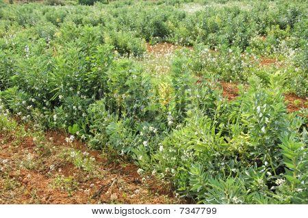 Puffbohnen Pflanzen