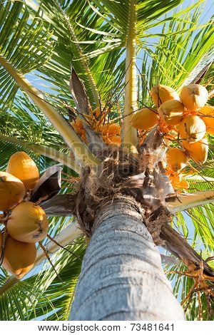 Yellow Malaysian Coconut Tree