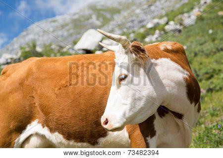 Beautiful Cow