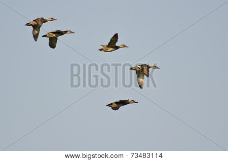 Small Flock Of American Wigeons Flying In Blue Sky