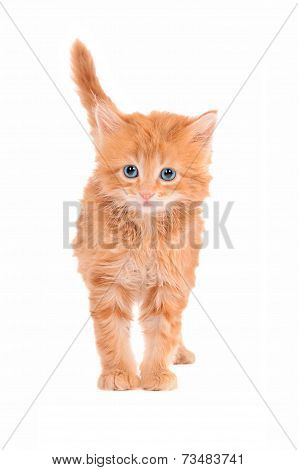 Sad Looking Ginger Kitten With A White Background