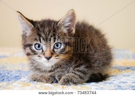 Adorable Tabby Kitten On Blue And Yellow Quilt