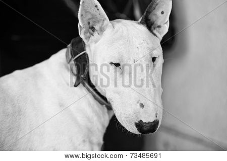 Bull Terrier Black And White