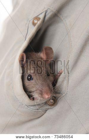 Hide Rat