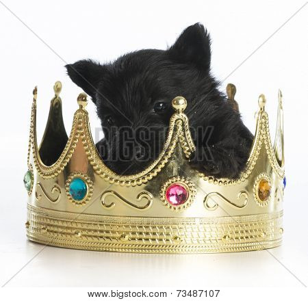 regal puppy - scottish terrier puppy inside a kings crown on white background