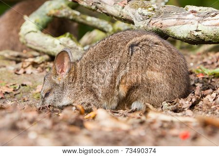 Sleeping Parma Wallaby