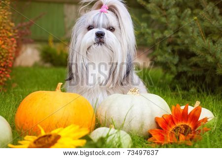 Shih tzu dog with pumpkins.