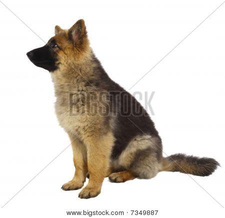 Puppy Of German Shepard Dog