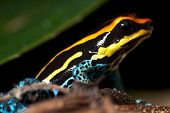stock photo of orange poison frog  - Small poison dart frog sitting on some tiny branches - JPG