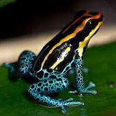 picture of orange poison frog  - Small poison dart frog sitting on a leaf - JPG