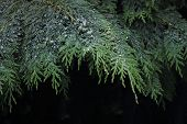 stock photo of conifers  - Cypress is the name applied to many plants in the cypress family Cupressaceae - JPG