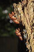 stock photo of exoskeleton  - close up of cicada shells or exoskeletons - JPG