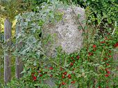 pic of english ivy  - Common ivy and cotoneaster on a garden fence - JPG
