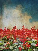 picture of blue-salvia  - Red Salvia flower with blue sky on grunge texture background - JPG