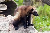 foto of skunks  - The wolverine  - JPG