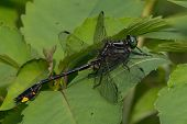 picture of cobra  - Cobra Clubtail dragonfly perched on a leaf.