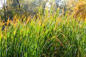 stock photo of bulrushes  - Closeup of bulrush leaves close to the lake in autumn - JPG