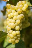 picture of moselle  - Bunch of grapes in the autumn - JPG