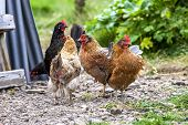 picture of iceland farm  - Colorful rooster on green background at the farm in Iceland - JPG