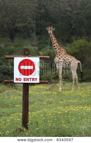 No Entry Sign And Giraffe