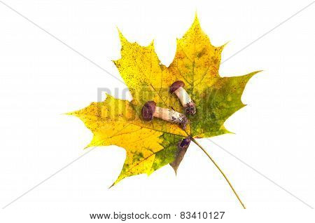 Autumn Maple Leaf And Two Mushrooms Fungi Cep Isolated