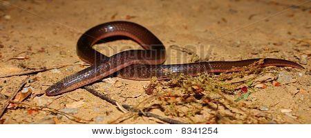 Eastern Wormsnake (Carphophis amoenus)