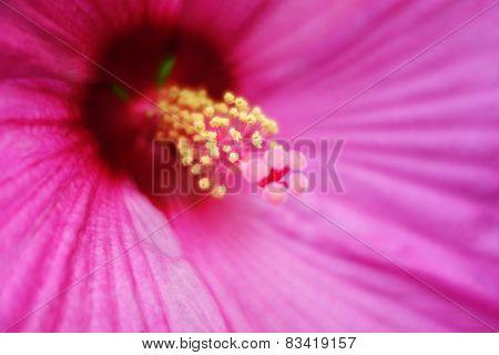 Hibiscus Flower Pollen