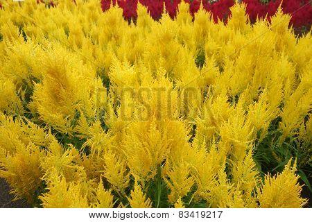 Celosia Argentea Blossom