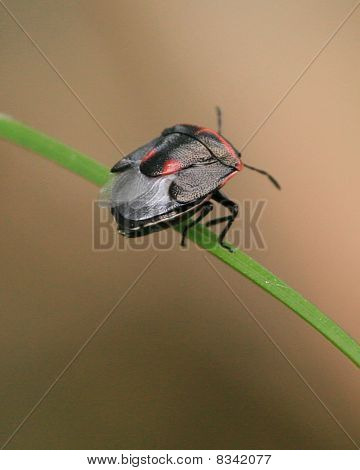 Black And Red Stink Bug