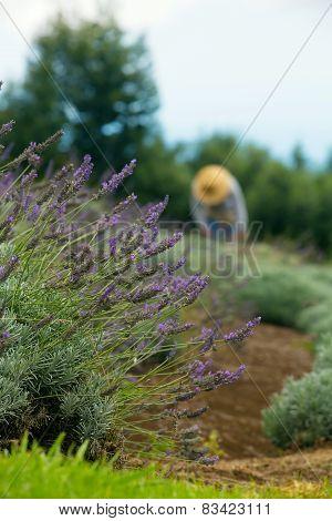 Gardener Harvesting Lavender