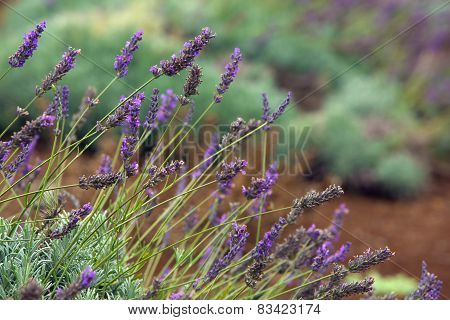 Lavender Outdoors