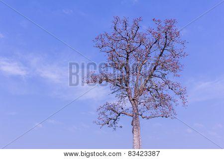 Bombax Ceiba Flower With Beauty Sky