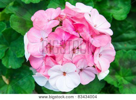 Pink Christ Thorn Flowe