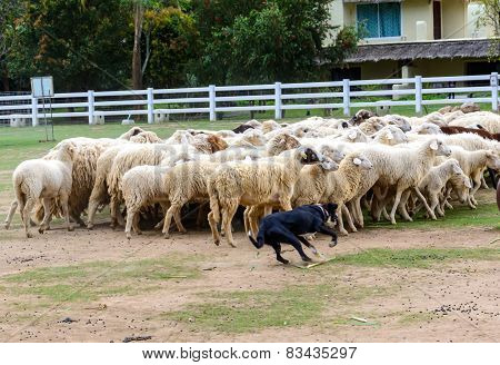 Sheep Dog Herding