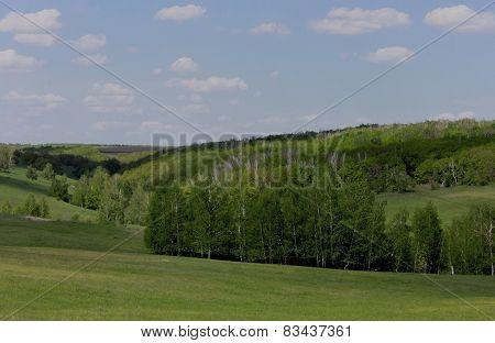 Birch grove in the gully