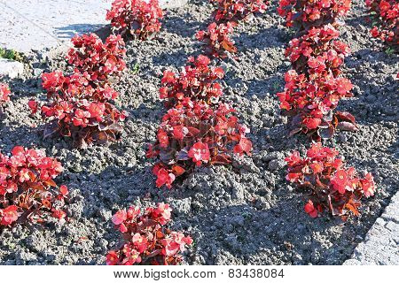 Red Flowers Tuberous Begonias