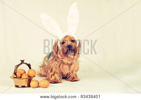 Lovely Yorkshire Terrier With Eggs