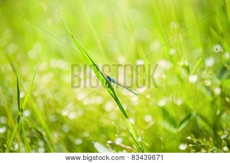 Small Blue Dragonfly On The Green Grass In The Field