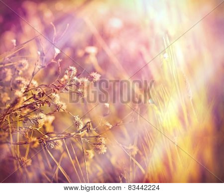 Dry- dried flowers in meadow