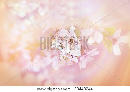 Soft focus on cherry blossoming