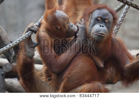 Orang Utanmother with child