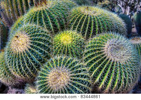 Grouping Of Barrel Cactus Close-up
