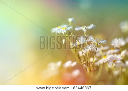 Daisy flowerng - blooming