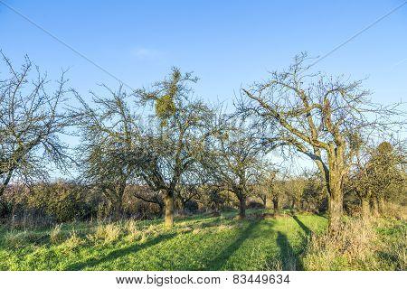 Apple Tree In Autumn Under Blue Sky