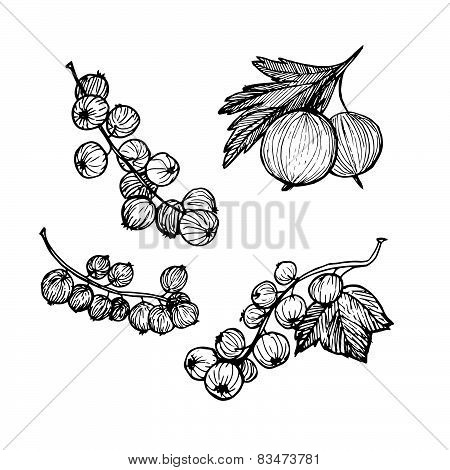 Hand-drawn Vector Illustration. Collection Of Currant And Gooseberry. Line Art. Isolated On White Ba