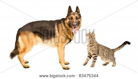 German Shepherd dog and cat Scottish Straight standing together